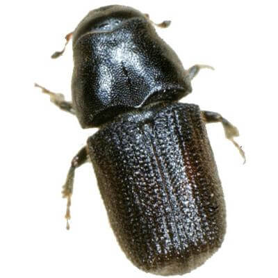 Insect Attractant for Dendroctonus Brevicomis/western Pine Beetle