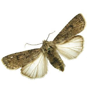 Sex Pheromone Lure for Agrotis Segetum Insect Attractant for Turnip Moth