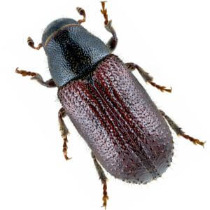 Insect Attractant for Tomicus Piniperda/pine Shoot Beetle