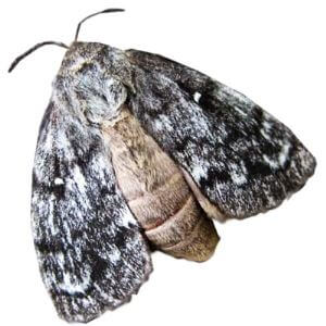 Sex Pheromone Lure for Dendrolimus Superans Insect Attractant for White-lined Silk Moth