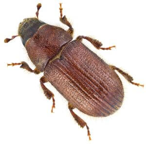 Insect Attract for Dendroctonus Micans/great Spruce Bark Beetle